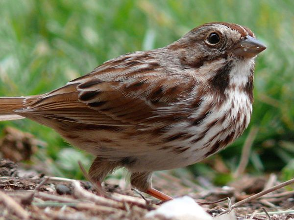 Song sparrow, Melospiza melodia. Credit: Ken Thomas, via Wikimedia Commons.
