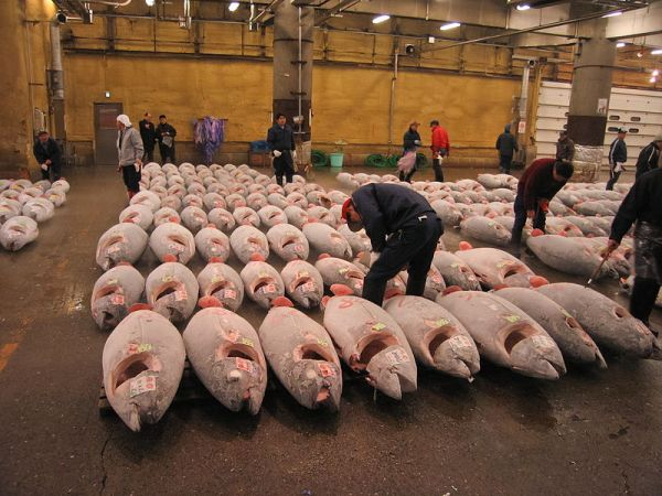 Tuna at japanese fish market. Credit: User:Fisherman, via Wikimedia Commons.
