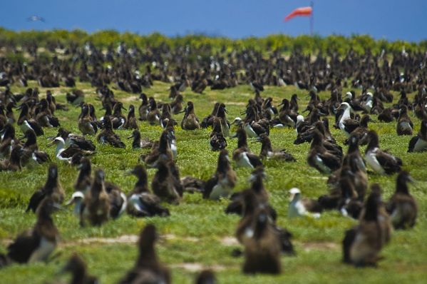 Laysan albatross chicks and a few parent birds. Credit: Mass Communication Specialist 2nd Class Mark Logico, US Navy, via Wikimedia Commons.