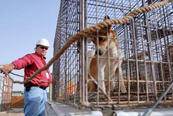 Vector Control: A KBR contractor locks up a dog found on the Victory Base Complex. (Staff Sgt. Curt Cashour)