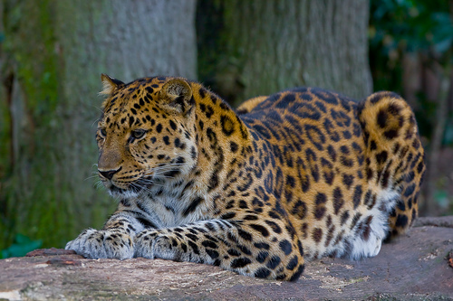 Credit: Amur Leopard via Wikimedia Commons.