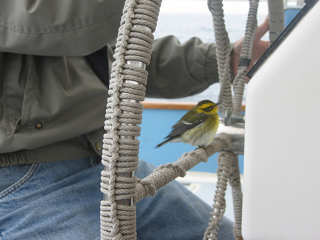 Townsend's warbler rests on boat.: Credit: Andrew Revkin via Flickr.