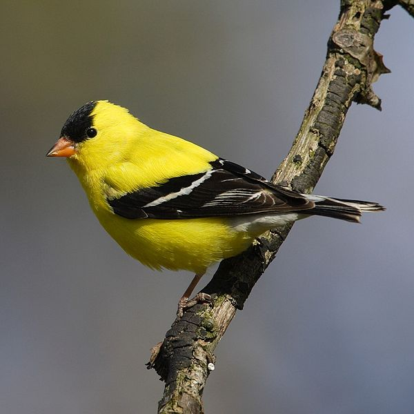 American goldfinch.: Mdf via Wikimedia Commons.