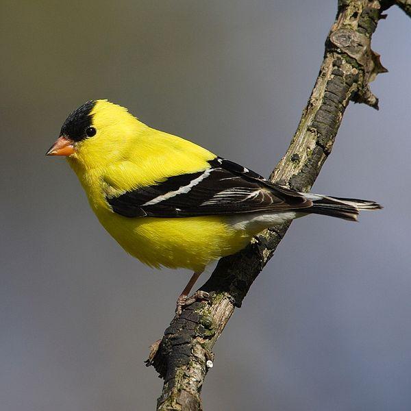 American goldfinch.: Mdf via Wikimedia Commons.