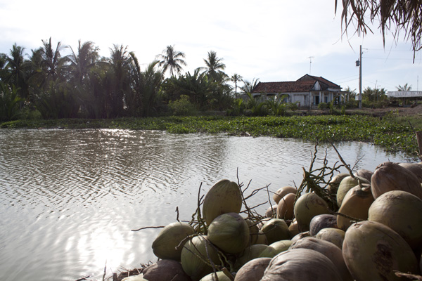 A pile of coconuts beside the new dam.: Kate Sheppard