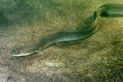 European eel. Photo by Ron Offermans, courtesy Wikimedia Commons.