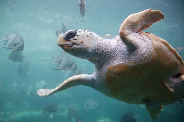 Loggerhead turtle, Caretta caretta. Photo by ukanda, courtesy Wikimedia Commons.
