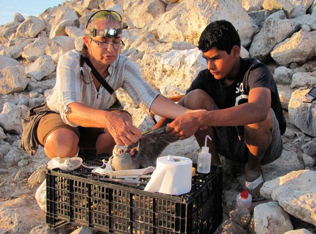 Velarde and Rosendo measure a gull's wing.: Julia Whitty