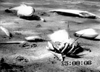Video frame of dead zone of the Baltic Sea, showing the seafloor covered with dead or dying crabs, fish, and clams killed by low oxygen levels. Courtesy Wikimedia Commons.