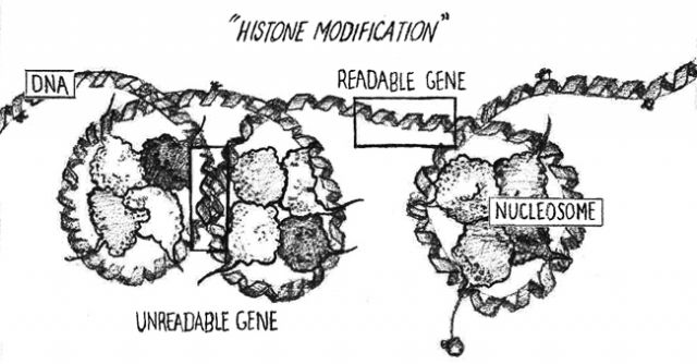 FIGURE 4: Histone Modification: When DNA is coiled loosely around histones, nearby genes are readable.