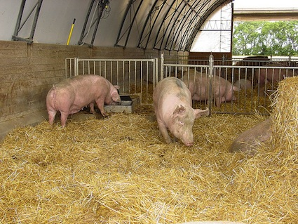 Not hog heaven, but close: Pigs in a hoop house.