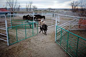 As part of his duties as a go-between for prison managers and other inmates, John Shuck rises early to prepare mustangs for a day of gentling.