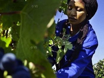 A farm worker collects grapes during harvest time in South Africa's wine country. : Marcus Bleasdale/Human Rights Watch