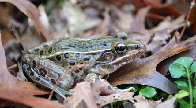 New species of leopard frog: Brian Curry, Rutgers University