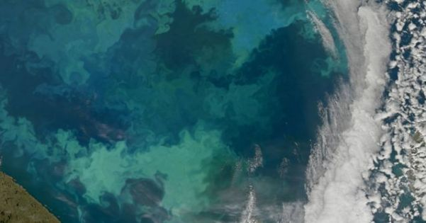 Phytoplankton bloom in the Barents Sea. The bright blue colors are likely from coccolithophores, the green colors from diatoms. NASA image courtesy Norman Kuring, NASA Ocean Color Group.