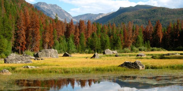 Standing dead trees—pine beetle damage—in a patch of forest in the mountains near Granby, Colorado. Warmer winters are allowing the destructive insect to thrive. The pine beetle has infested 1.5 million acres of lodgepole pine in Colorado. Credit: NOAA.