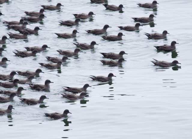 Sooty shearwaters. Photo by Marlin Harms, courtesy Wikimedia Commons.