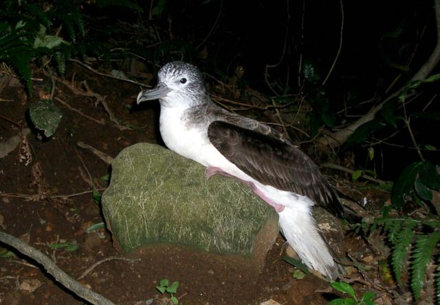 Streaked shearwater at breeding colony on Mikura Island, Japan. Photo by Kanachoro, courtesy Wikimedia Commons.