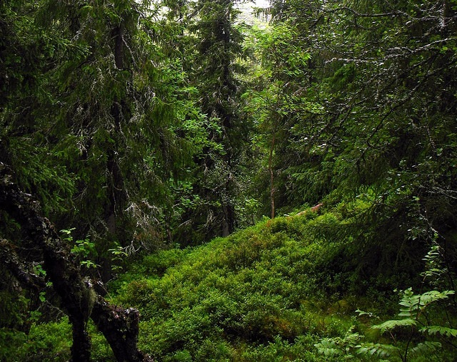 Virgin spruce forest in Fulufjället National Park, Sweden.: Credit: Vilseskogen via Flickr.