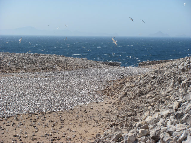 The tern colony at Rasa Island in 2011. : Julia Whitty
