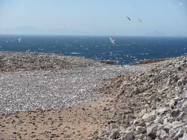 The tern colony at Rasa Island in 2011. : Julia Whitty