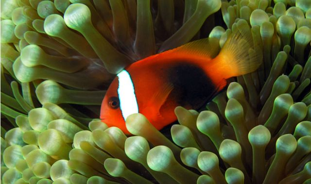 Cinnamon clownfish (Amphiprion melanopus): Nick Hobgood via Wikimedia Commons.